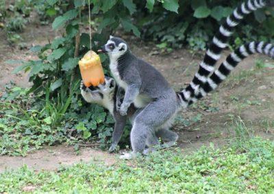 Divlje ljeto_lemur