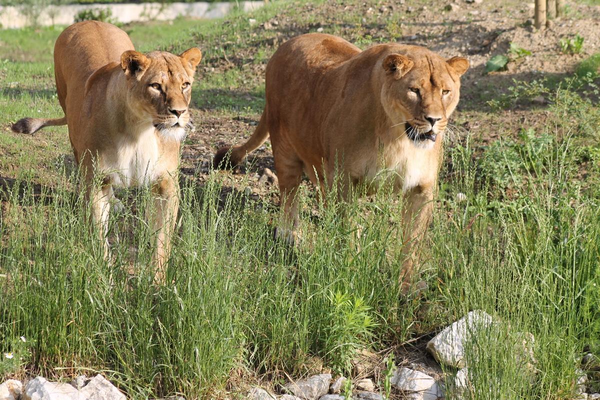 Africki Lav Zoo Zagreb
