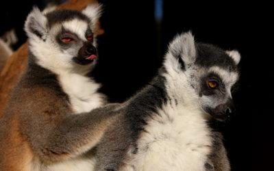 Edukativna priča: Prstenastorepi lemuri