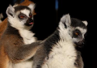 Prstenorepi lemuri