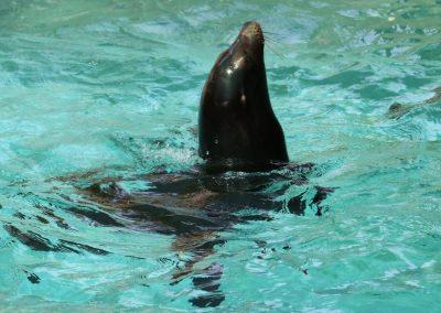 Kalifornijski morski lav