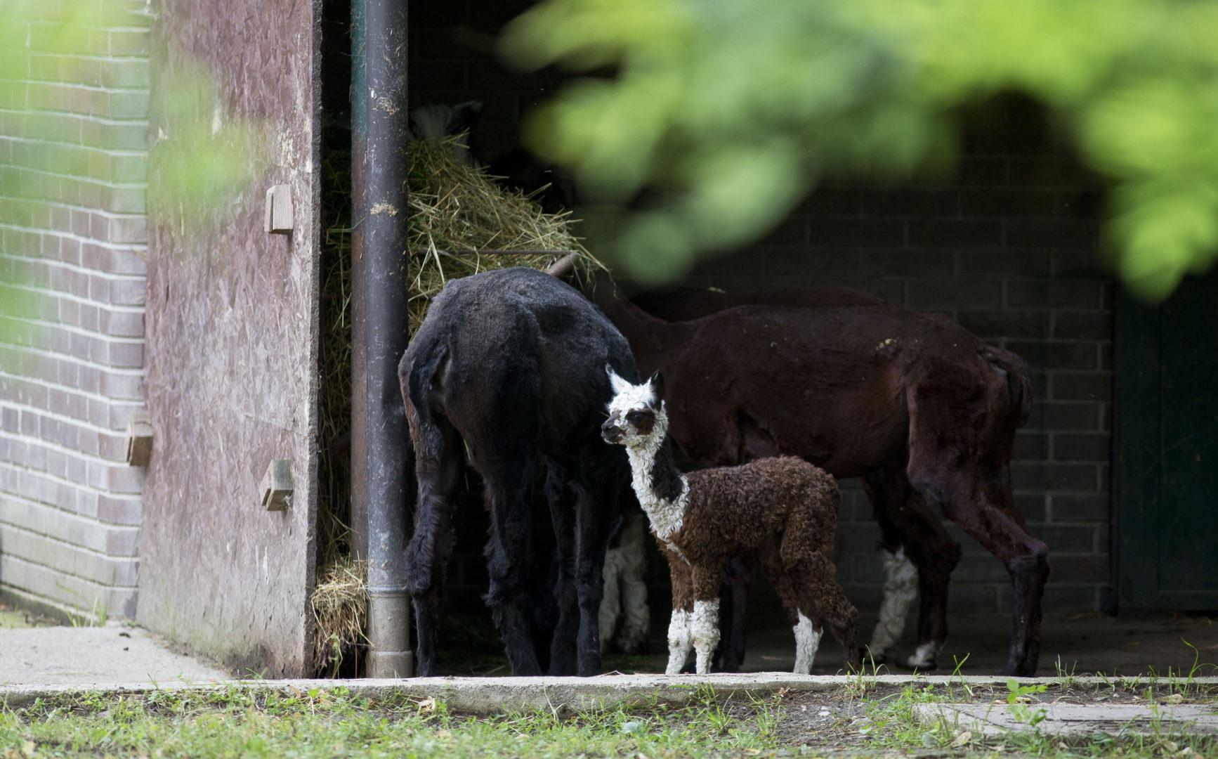 Ljupka Pojacanja U Obiteljima Alpaka I Morskih Lavova Zoo Zagreb