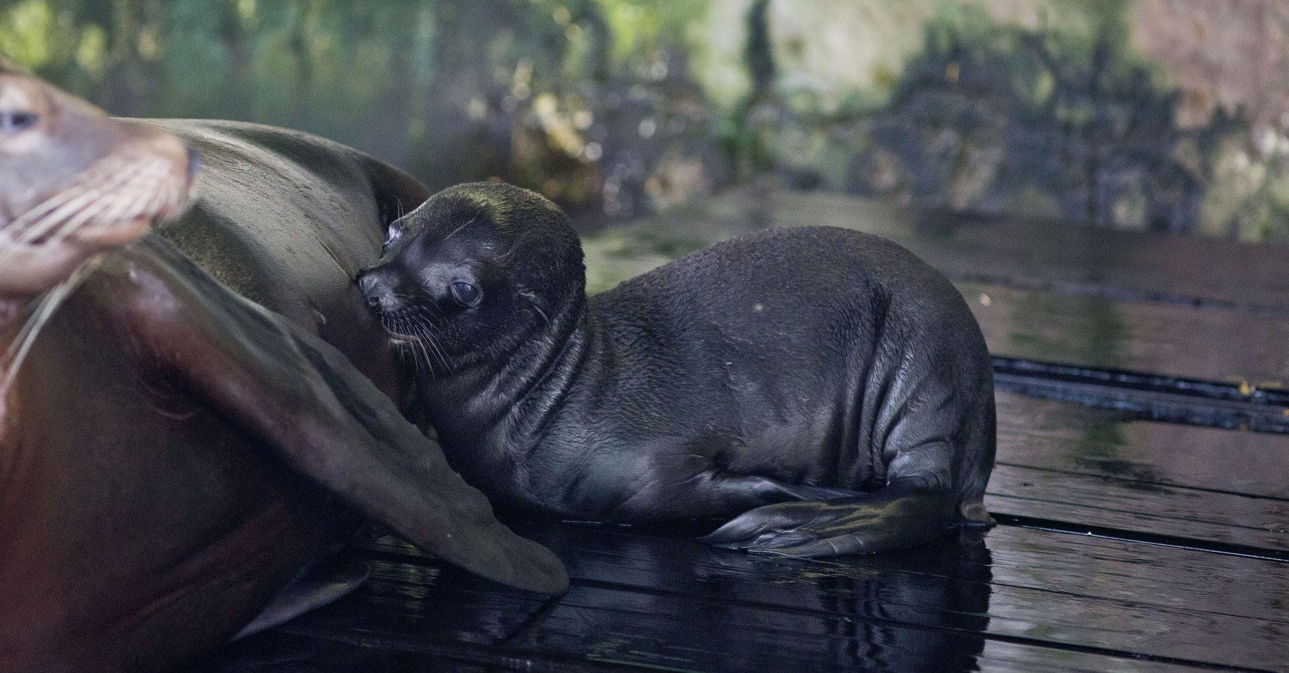 Ljupka pojačanja u obiteljima alpaka i morskih lavova