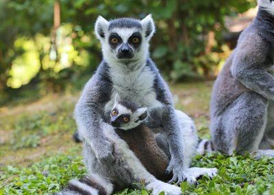 PRSTENASTOREPI LEMUR (Lemur catta)