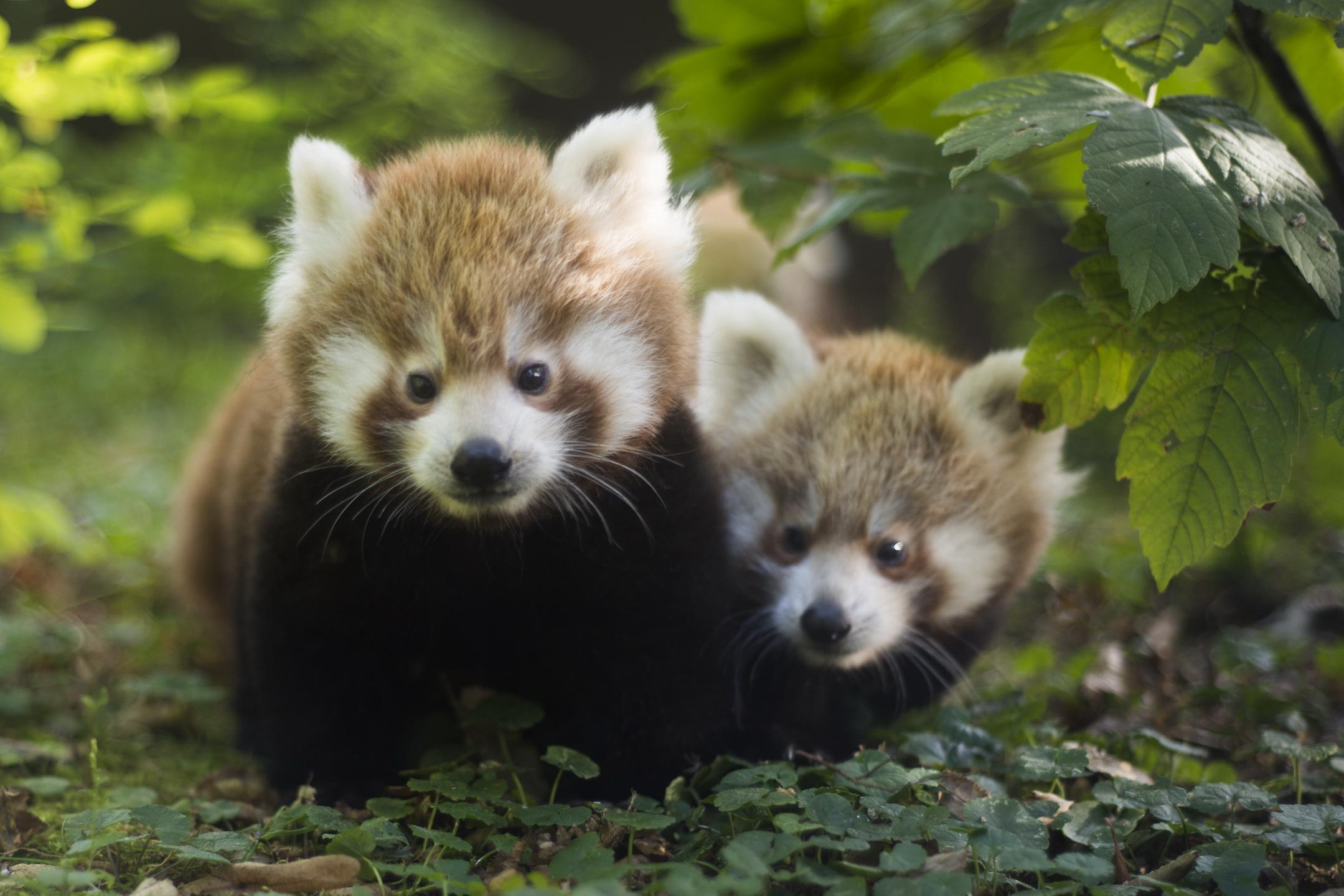 Crvena panda Ema ima pune ruke posla oko malenih blizanaca