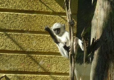 Hanuman-langur-beba-u-akciji