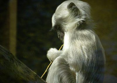 Hanuman languri beba za naslovnu