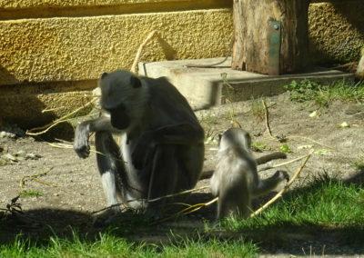 Hanuman-languri-hranjenje