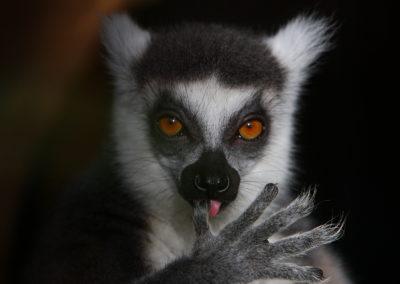 Lemur-catta_2009-74
