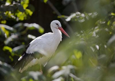 Bijela-roda