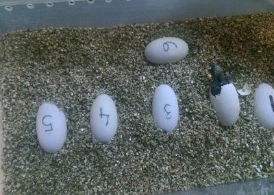 Jaja riječne kornjaće u Zoo vrt-u