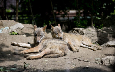 Edukativna priča: Sivi vuk