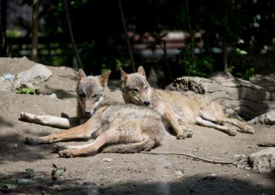 Mladi vukovi