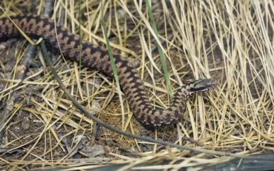 Edukativna priča: Hrvatske zmije otrovnice