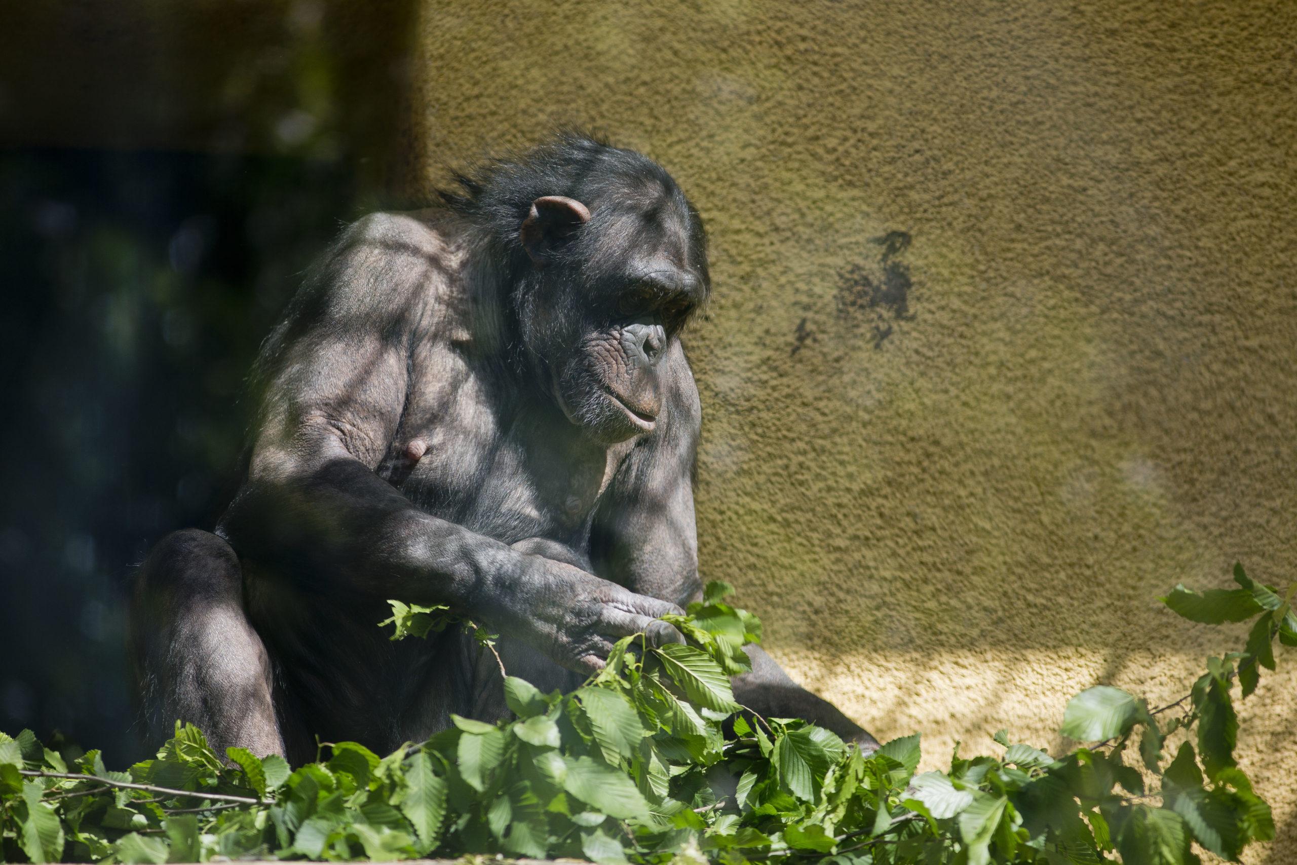Cimpanza Pan Troglodytes Zoo Zagreb