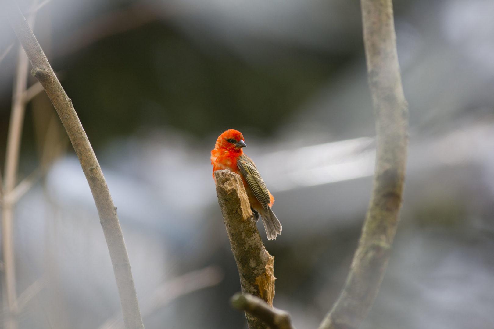 MADAGASKARSKA PLETILJA        (Foudia madagascariensis)