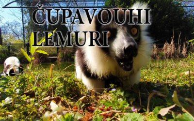 Edukativna priča: Čupavouhi lemuri