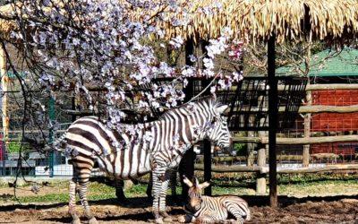 Neodoljivo prugasto pojačanje u zagrebačkoj obitelji zebri