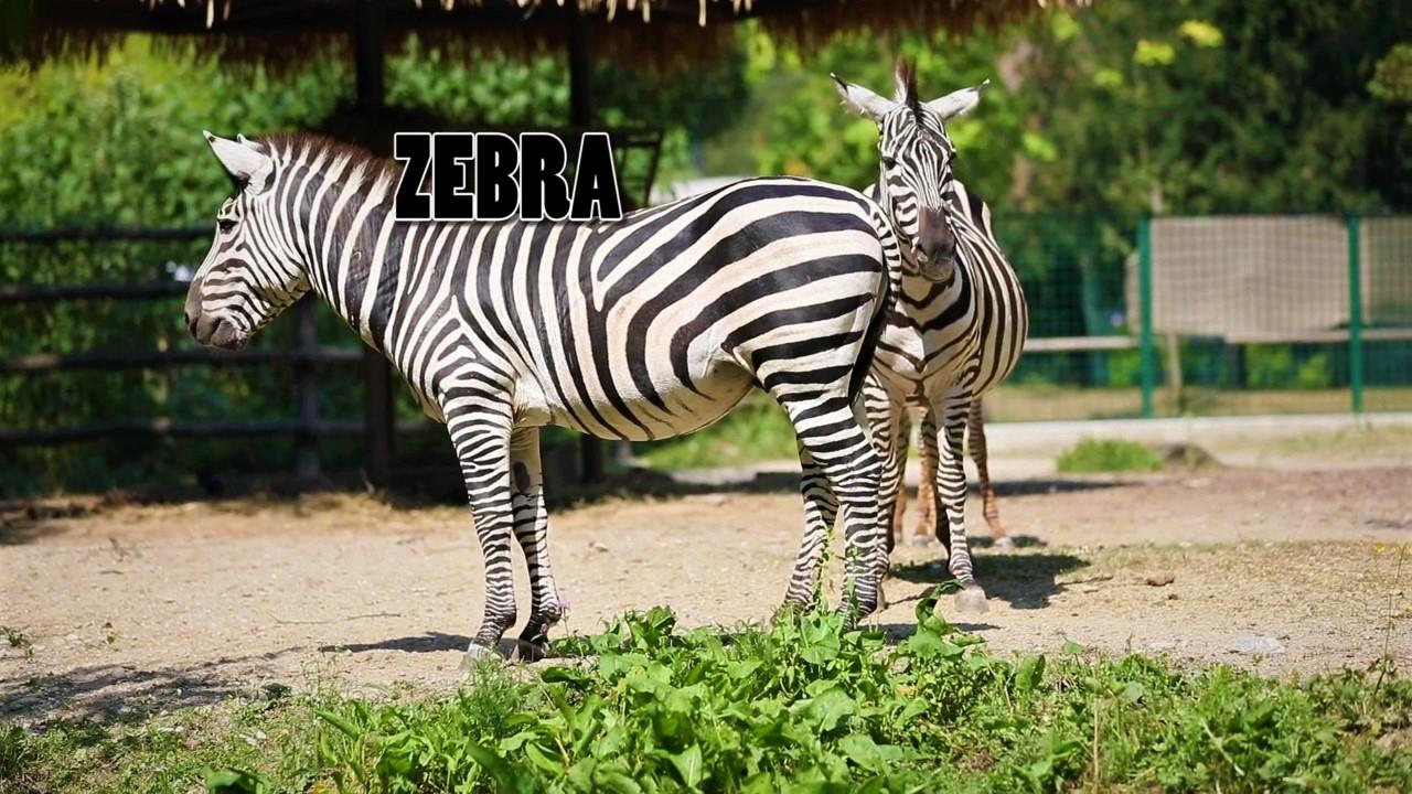 Edukativna priča: Grantova nizinska zebra