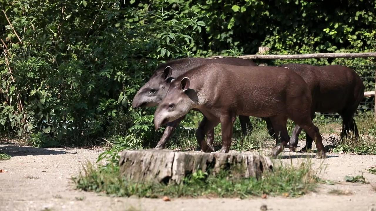 Edukativna priča: Južnoamerički nizinski tapir