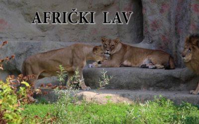 Edukativna priča: Afrički lav