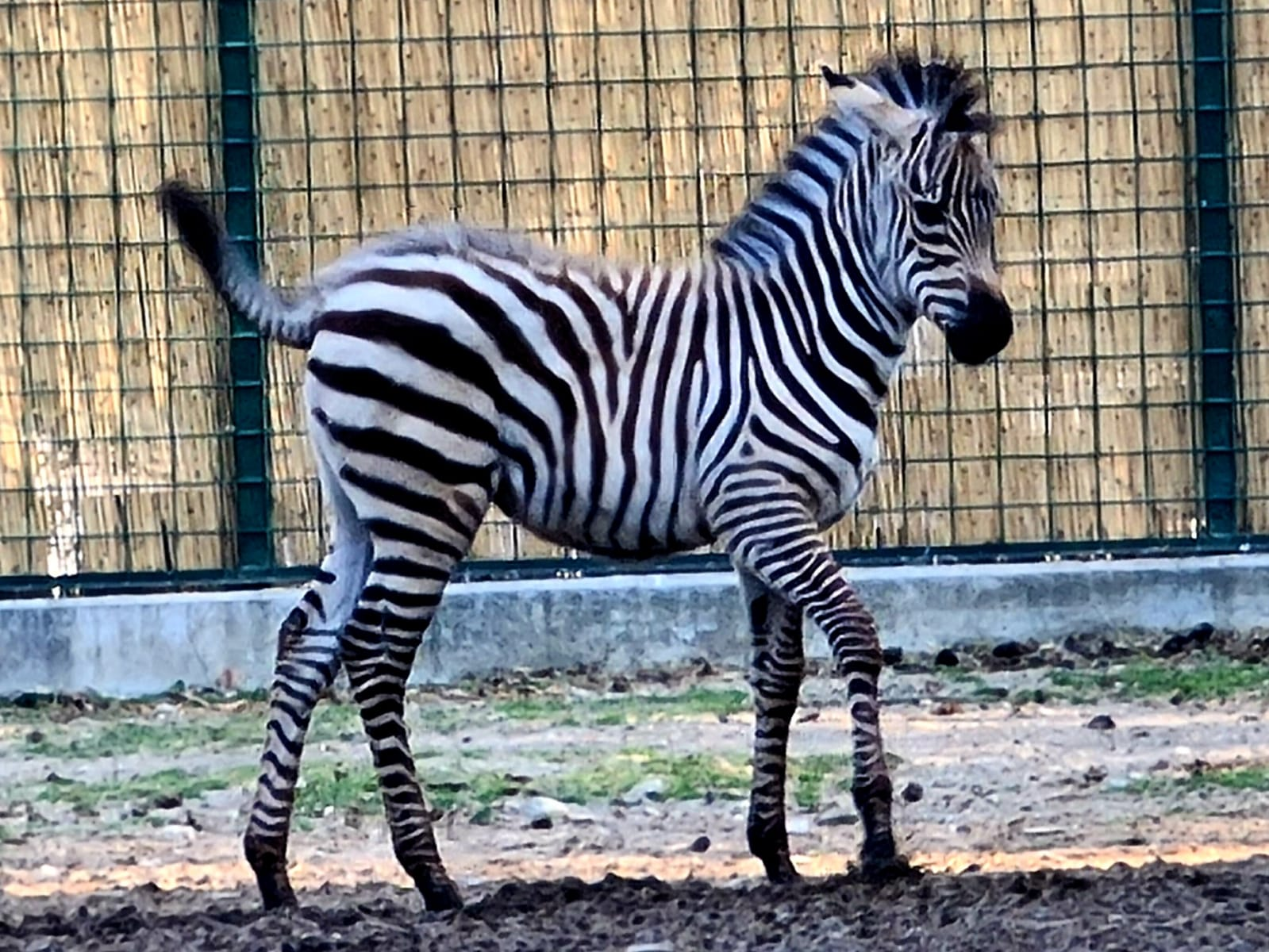 Objava imena malene zebre