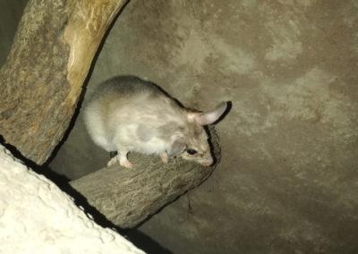 veliki mad.štakor