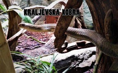Edukativna priča: Kraljevska kobra