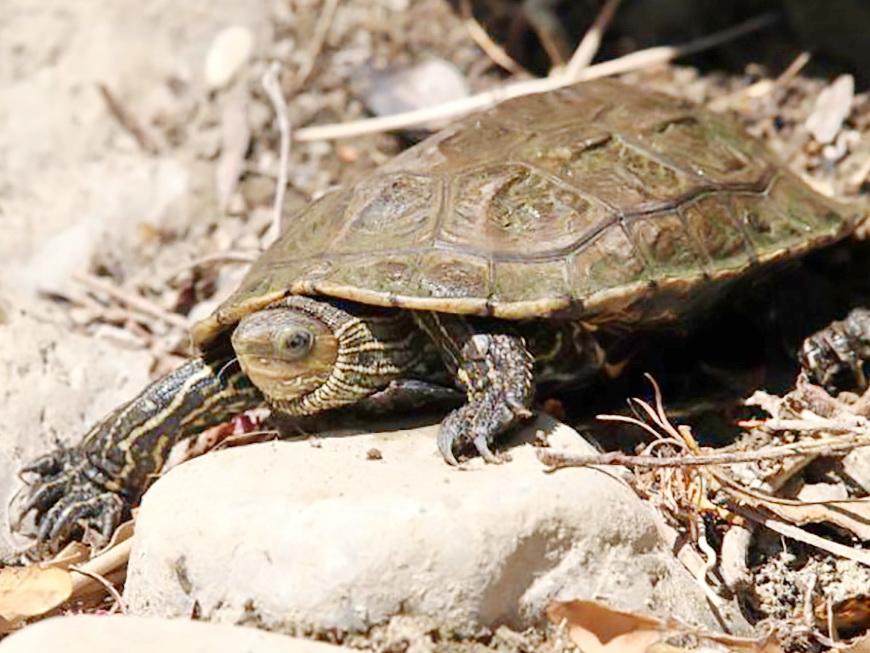 Zaštita najugroženije kornjače u Hrvatskoj: U Konavlima pušteno 50 riječnih kornjača uzgojenih u Maksimiru