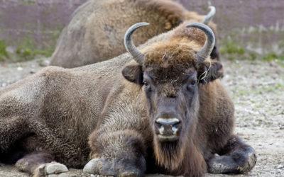 Edukativna priča: Europski bizon
