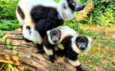 Crno-bijele madagaskarske ljepotice oduševile Europu