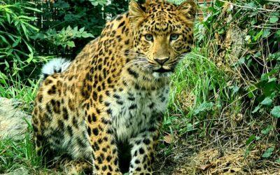 Kineska leopardica Odilia oduševila Tadzika