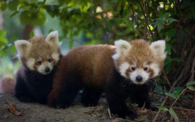 Međunarodni dan crvenih pandi